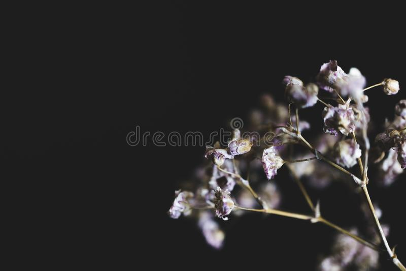 Imagem macro de flores roxas secadas com fundo escuro imagens de stock royalty free