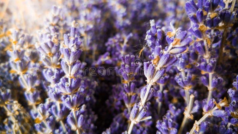 Imagem macro de flores secas da alfazema em raios do sol Foto do close up do crescimento de flores violeta e roxo em Provence fotografia de stock royalty free