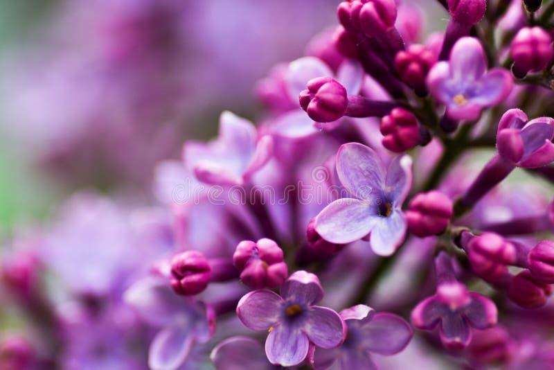 Imagem macro de flores violetas lil?s da mola, fundo floral macio abstrato imagens de stock royalty free