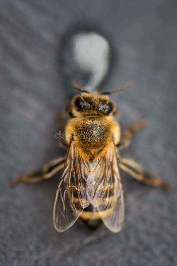 Imagem macro de uma abelha em uma superfície cinzenta que bebe uma gota do mel para fotografia de stock royalty free