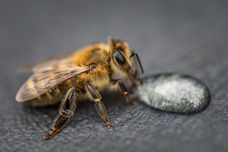 Imagem macro de uma abelha em uma superfície cinzenta que bebe uma gota do mel para imagem de stock