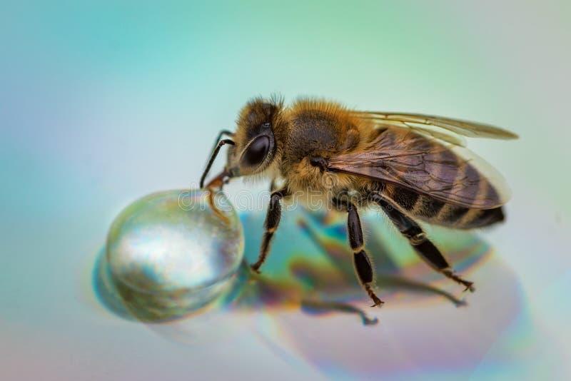 Imagem macro de uma abelha em uma superfície reflexiva que bebe um Dr. do mel imagens de stock