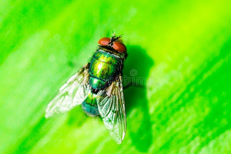 Imagem macro do close up de uma mosca verde da garrafa imagem de stock royalty free