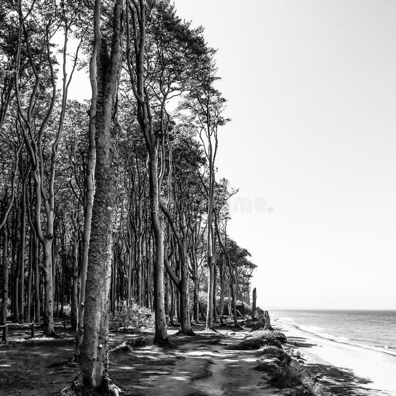 Imagem monocromática 'da floresta de Ghost 'e da praia no recurso Báltico Nienhagen, Alemanha imagem de stock