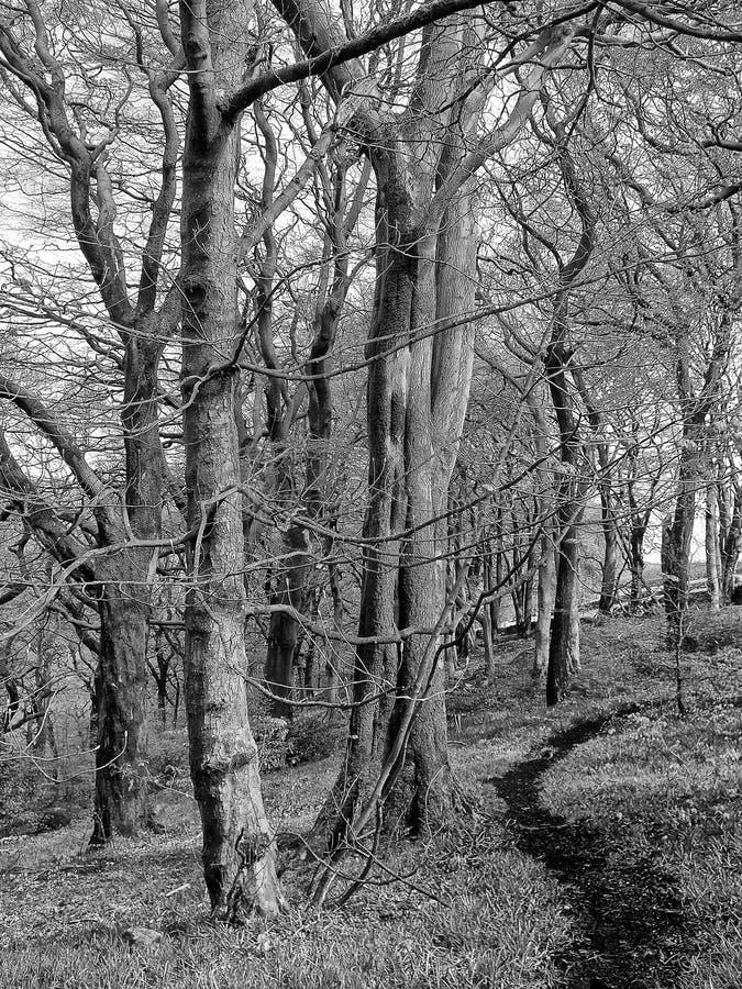 imagem monocromática de um caminho estreito de encurvamento escuro através das árvores de faia altas em uma floresta do inverno imagens de stock