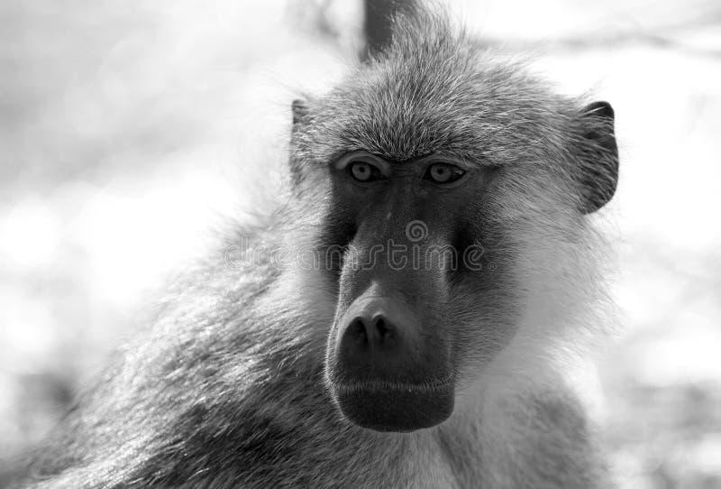 Imagem monocromática de um fim acima de uma cara do babuíno de chacma imagens de stock royalty free