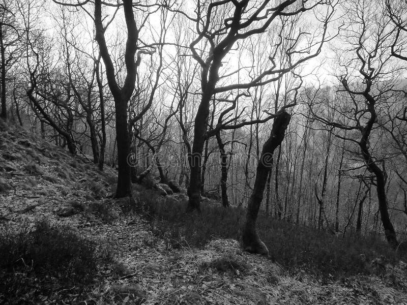Imagem monocromática de uma floresta do inverno em um montanhês com as árvores escuras torcidas retroiluminadas contra a luz em u foto de stock