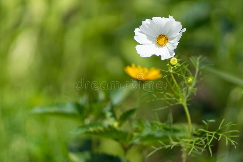Imagem natural Close up da flor da papoila branca no fundo do bokeh imagens de stock