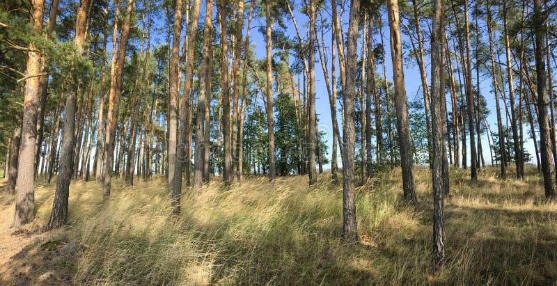 Imagem panorâmica esplêndida da floresta de pinheiros imagem de stock