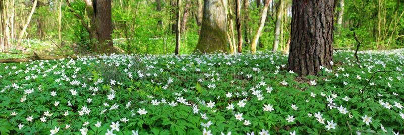 Imagem panorâmico da floresta da mola imagem de stock