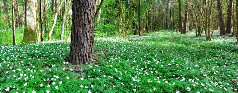 Imagem panorâmico da floresta da mola fotografia de stock royalty free
