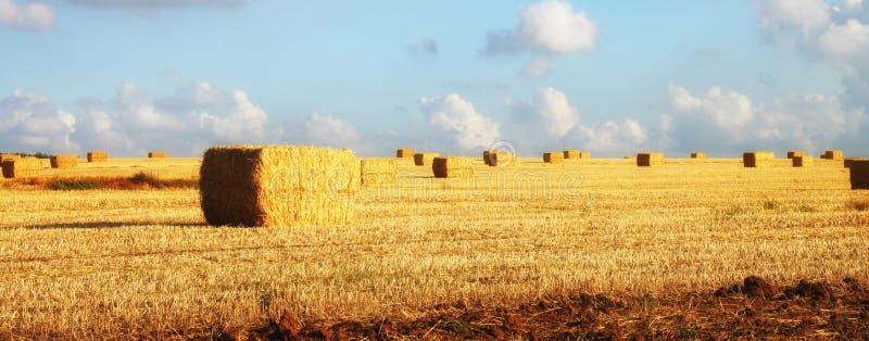 A imagem panorâmico de monte de feno do trigo do ouro coloca na luz do por do sol imagem de stock