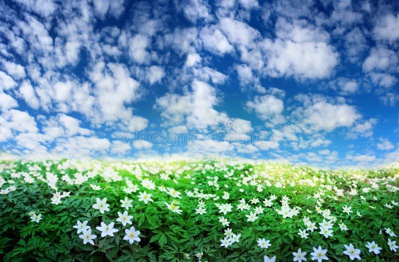Imagem panorâmico dos wildflowers brancos contra o céu azul na mola imagens de stock