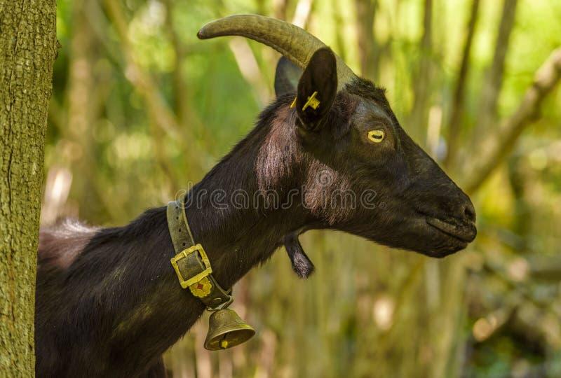 Imagem preta do perfil da cabra imagens de stock royalty free