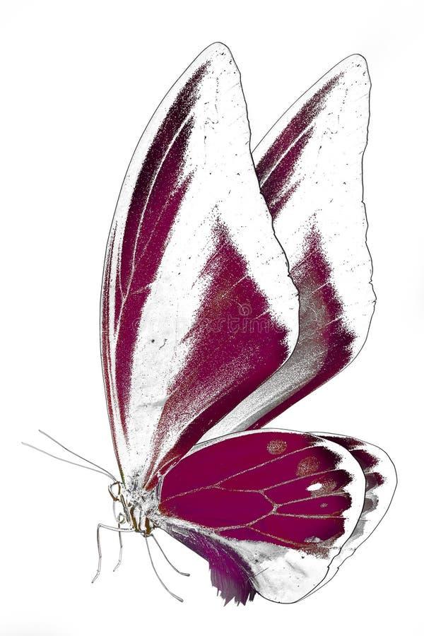Imagem preto e branco da borboleta bonita com asas coloridas imagens de stock