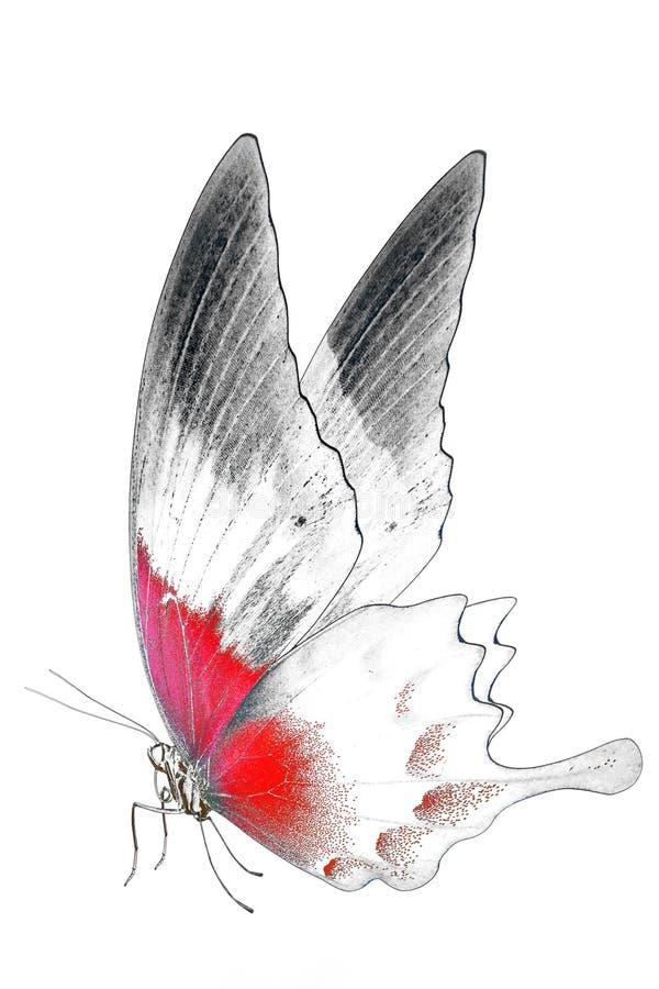 Imagem preto e branco da borboleta bonita com asas coloridas imagem de stock