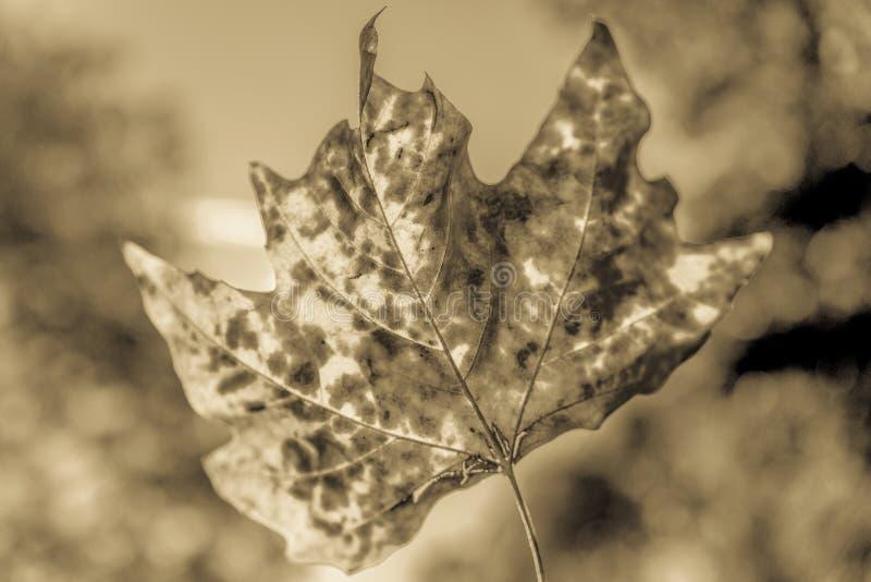 Imagem preto e branco de uma folha retroiluminada do outono foto de stock royalty free