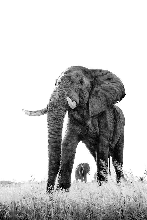 Imagem preto e branco do elefante imagem de stock
