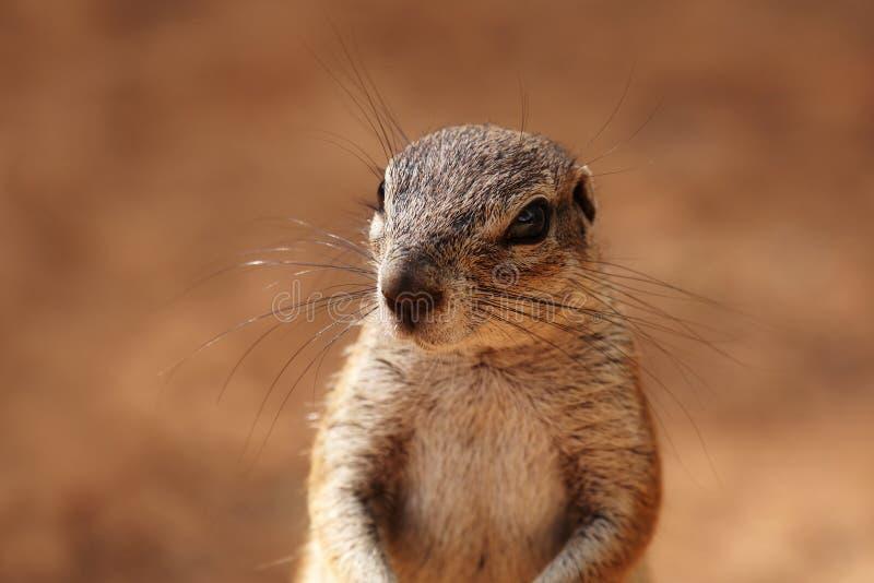 Imagem principal e dos ombros de um esquilo à terra fotografia de stock