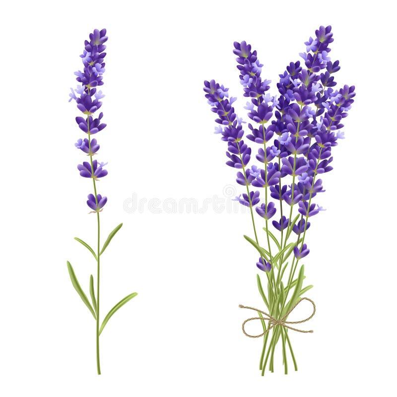 Imagem realística das flores de corte da alfazema ilustração do vetor