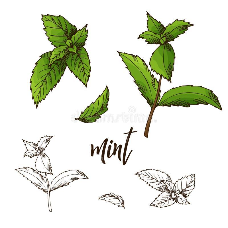 Imagem retro detalhada da hortelã Esboço da tinta isolado no fundo branco Especiaria da erva Ilustração do vetor ilustração do vetor