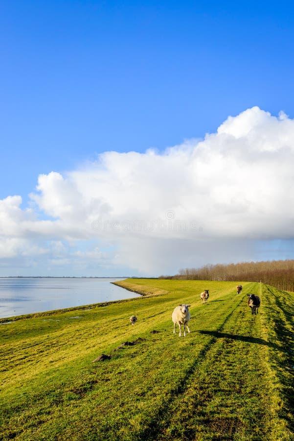 Imagem retroiluminada de alguns carneiros que estão em um dique holandês imagens de stock