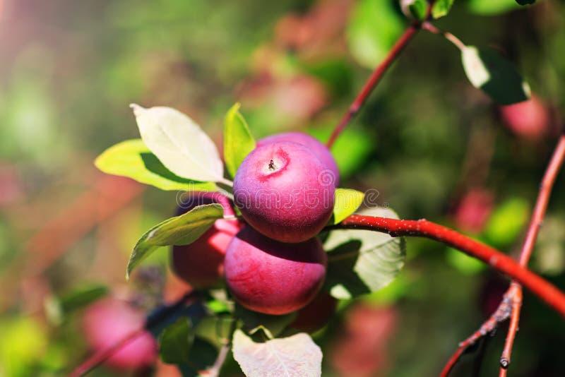 Imagem surpreendente com grupo de maçãs e de folhas vermelhas em um ramo, imagem de stock