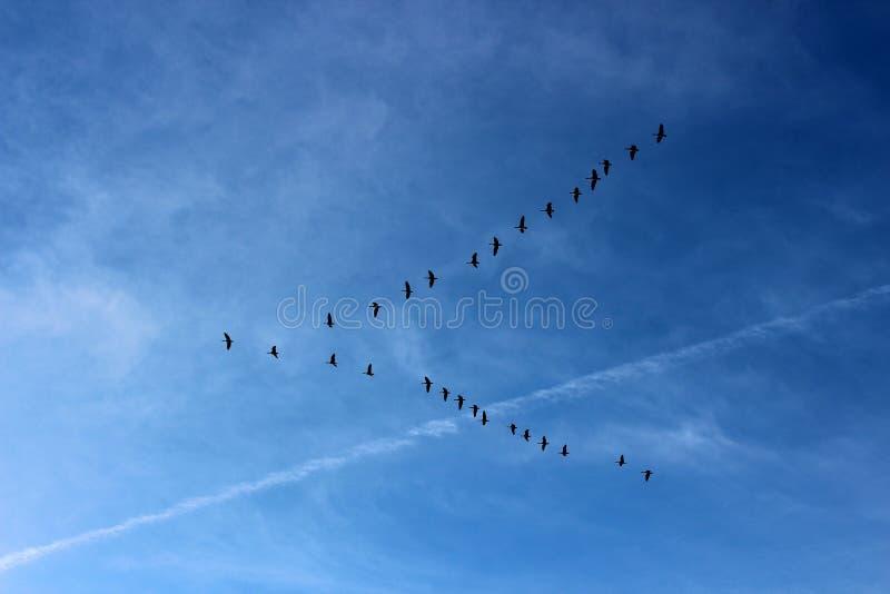 Imagem tranquilo de céus azuis brilhantes, córregos de jato e vee dos pássaros que voam sul para o inverno imagem de stock royalty free