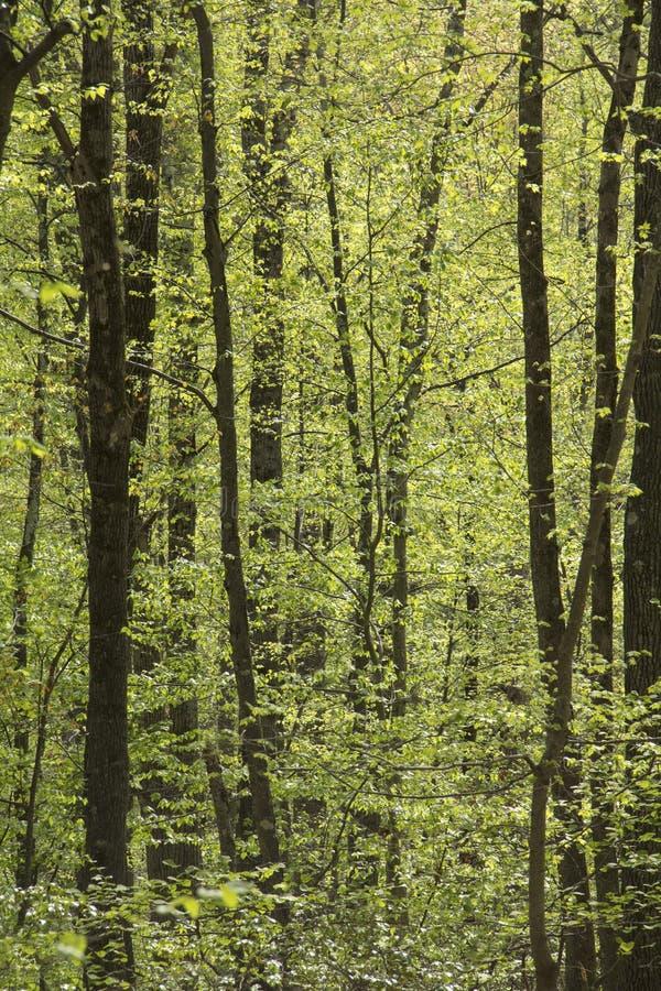 A imagem vertical da floresta decíduo da primavera, vale cai, Ver imagem de stock
