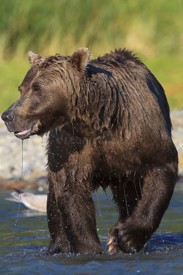 Imagem vertical impressionante do varrão do urso marrom imagens de stock