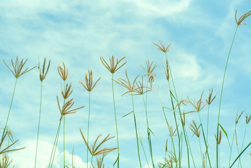 Imagen abstracta del vintage de la hierba y de la mala hierba de la flor en el campo con el cielo azul y la nube en fondo imagen de archivo