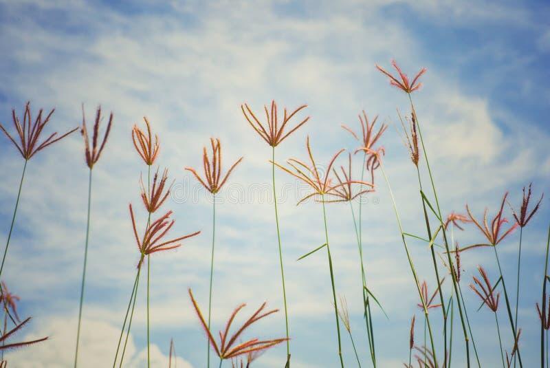 Imagen abstracta del vintage de la hierba y de la mala hierba de la flor en el campo con el cielo azul y la nube en fondo foto de archivo libre de regalías