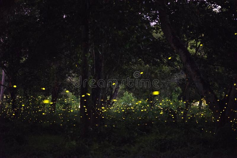 Imagen abstracta y mágica del vuelo de la luciérnaga en el bosque de la noche imagen de archivo