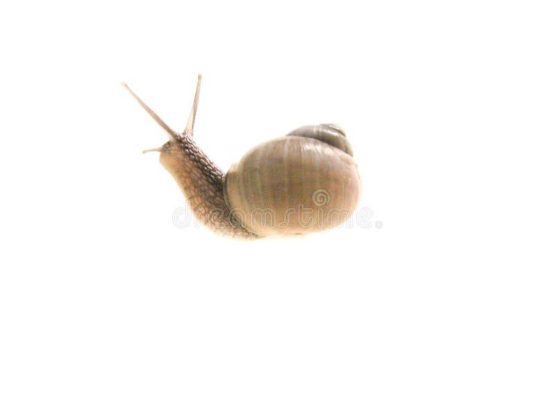 Imagen aislada caracol en un fondo blanco imagenes de archivo