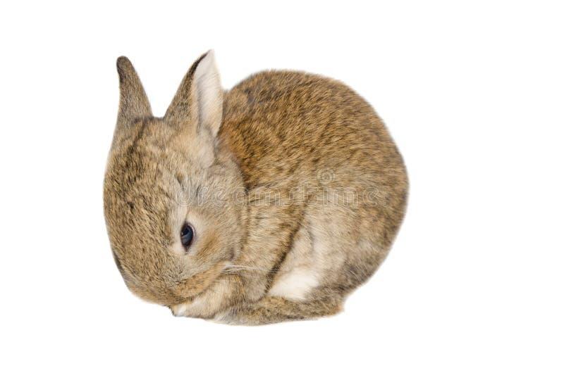 Imagen aislada de un conejo de conejito marrón imagen de archivo
