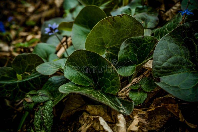 Imagen ascendente cercana de hojas del jengibre salvaje, lat Europaeum del Asarum con las flores azules del scilla en un fondo imágenes de archivo libres de regalías