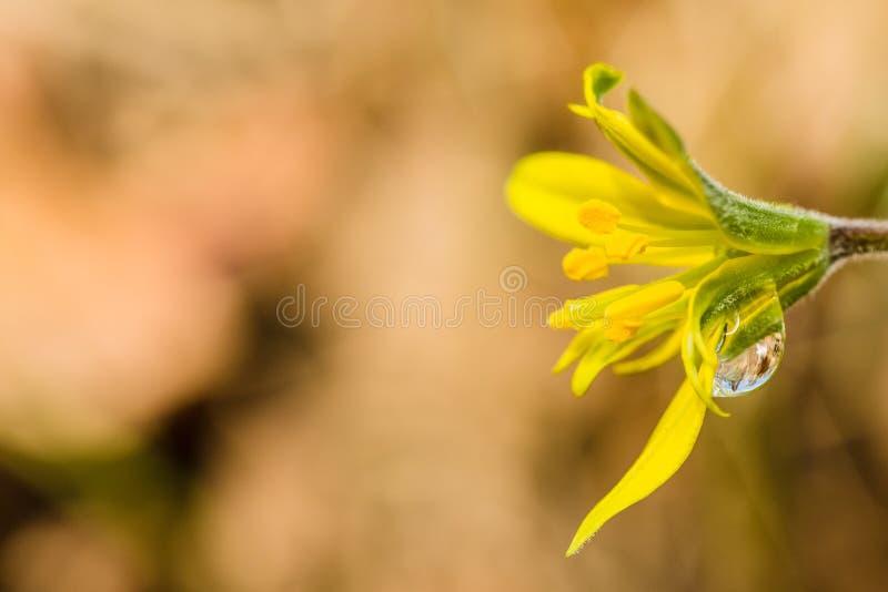 Imagen ascendente cercana de la flor amarilla y verde brillante fresca del lirio foto de archivo