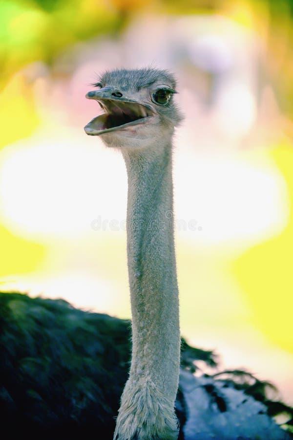 Imagen ascendente cercana de una cabeza sonriente de la opinión superior del camelus del Struthio del pájaro de la avestruz imagen de archivo libre de regalías