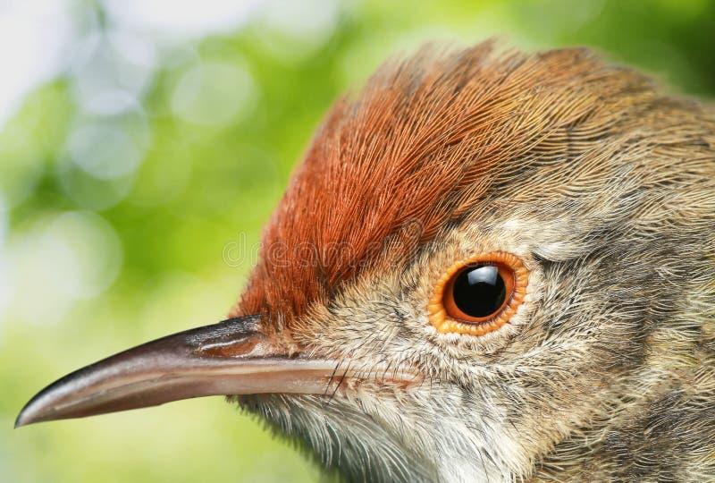Imagen ascendente cercana del sunbird Aceituna-apoyado fotografía de archivo