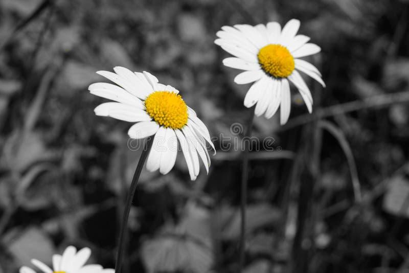 Imagen blanco y negro y amarilla de las flores de la margarita foto de archivo