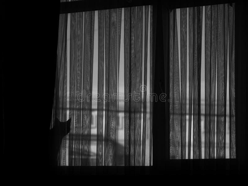 Imagen blanco y negro de dos gatos en ventana detrás de la cortina foto de archivo