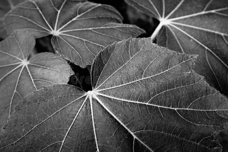 Imagen blanco y negro de hojas imagen de archivo
