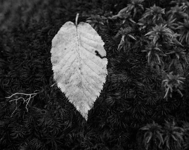 Imagen blanco y negro de la hoja en agua imagen de archivo libre de regalías