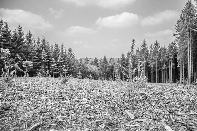 Imagen blanco y negro de los árboles de pino nuevamente plantados y de los árboles de pino grandes fotografía de archivo libre de regalías