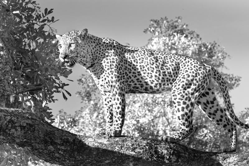 Imagen blanco y negro de un leopardo africano que se coloca en un árbol con la buena iluminación en luangwa del sur foto de archivo libre de regalías