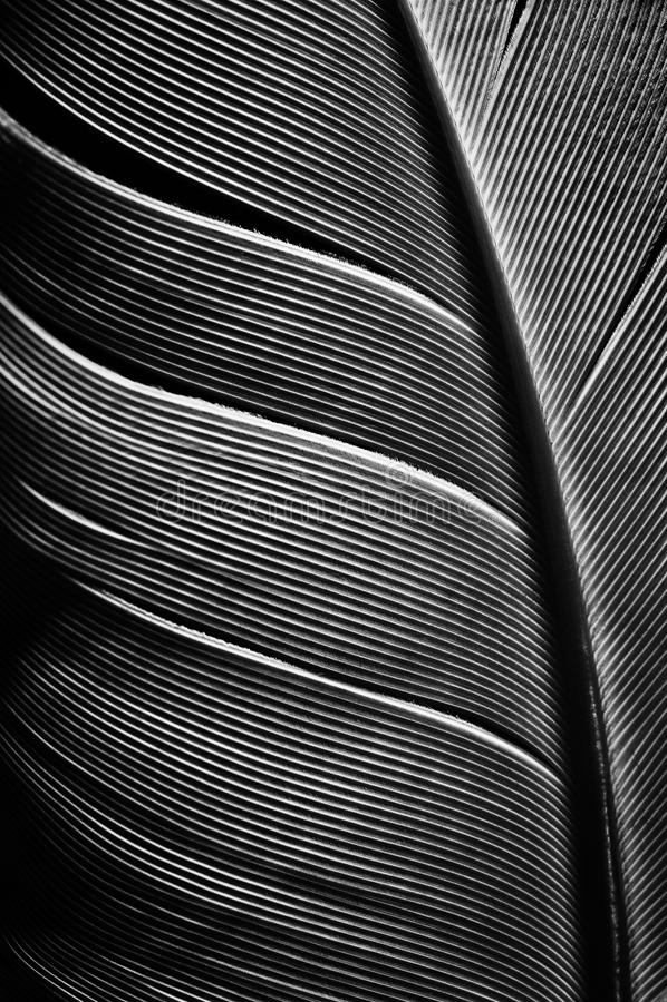 Imagen blanco y negro de un pedazo de plumas de pájaro imagenes de archivo