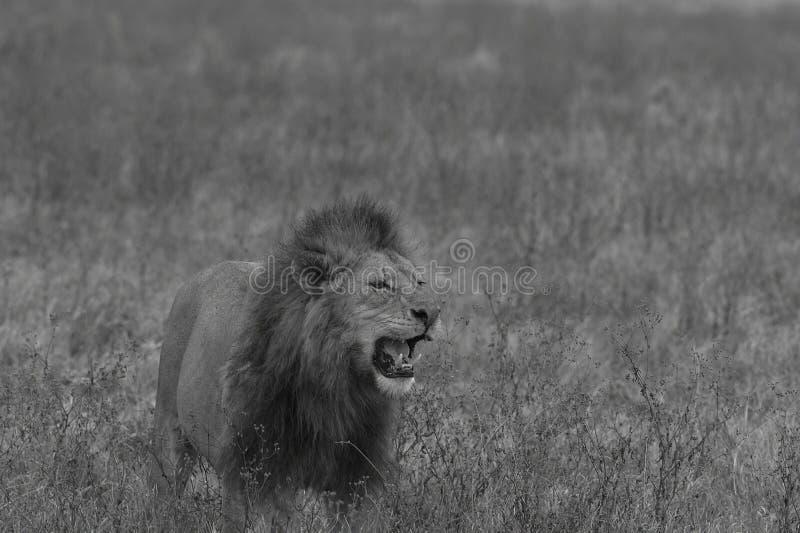Imagen blanco y negro del león masculino que se coloca en campo fotografía de archivo