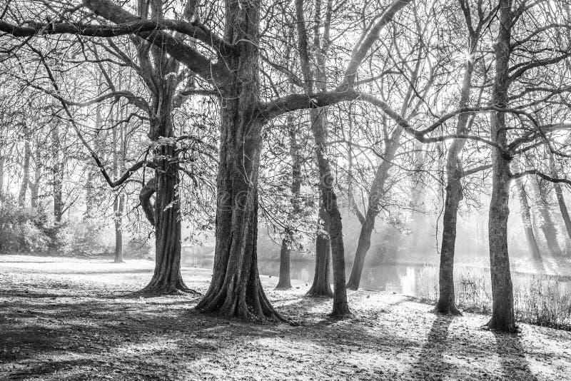 Imagen blanco y negro hermosa de árboles con neblina escasa foto de archivo