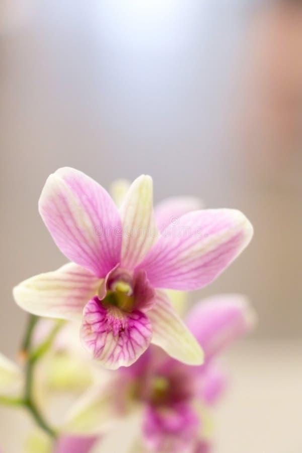 Imagen borrosa de la orquídea rosada del phalaenopsis en primer fotos de archivo