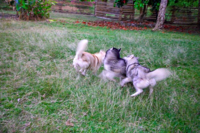 Imagen borrosa de tres huskyes siberianos que corren y que persiguen el uno con el otro foto de archivo